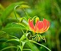 Gloriosa Lily, Ethiopia (15740912399).jpg