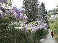 Glycines dans les cyprès (Roquebrune) 2.jpg