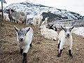Goats DSC02088.jpg
