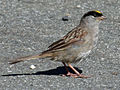 Golden-crowned Sparrow RWD.jpg