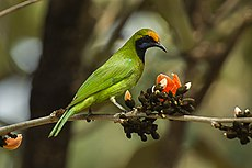 Golden-fronted Leafbird - Bandavhgarh - India 8120 (16844995627).jpg