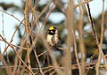 Golden-winged Warbler (-1 of 3 males), Old Carney Lake Rd. area, Iron Mountain, Dickinson Co., MI, 20 May 2015 (17727654090).jpg