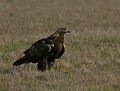 Golden Eagle (Aquila chrysaetos) (2265246186).jpg