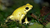Golden Poison dart frog Phyllobates terribilis.jpg