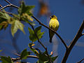 Goldfinch (3338035057).jpg