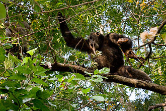 Eastern chimpanzee - Male chimpanzee with its prey, a bushbuck