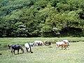 Gower Ponies - geograph.org.uk - 381858.jpg