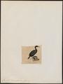 Graculus tenuirostris - 1845-1863 - Print - Iconographia Zoologica - Special Collections University of Amsterdam - UBA01 IZ18000101.tif
