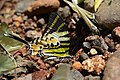 Graphium antiphates naira Moore, 1903 – Sahyadri Five-bar Swordtail at Kannavam RF (13).jpg
