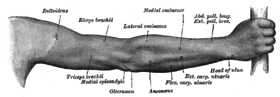 Back of right upper extremity. (Anconeus labeled at bottom center.)