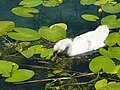 Grazing on water lillies @ Baby swan @ Lake Annecy @ Port de Saint-Jorioz (50487108828).jpg