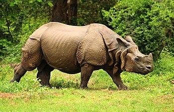 Great-Indian-one-horned-rhinoceros-at-Kaziranga-national-park-in-Assam-India.jpg