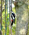 Great-spotted-woodpecker-100065.jpg