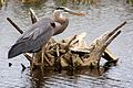 Great Blue Heron (Ardea herodias) (6998569423).jpg
