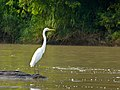 Great Egret (Ardea alba) (8067145251).jpg