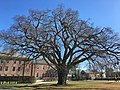 Great Elm at Phillips Academy, Andover, MA - November 2019.jpg