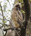 Great Horned Owl youngster - 1st day of emergence (25776534233).jpg
