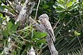 Great Potoo (Nyctibius grandis) (4505556088).jpg