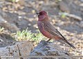 Great Rosefinch (Carpodacus rubicilla) (48701102716).jpg