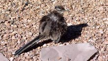 File:Greater Roadrunner sunning.ogv