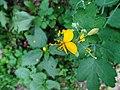 Greater celandine flower. (Цветок Чистотела.) - panoramio.jpg