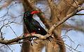 Green Wood Hoopoe, Phoeniculus purpureus, at uMkhuze Game Reserve, kwaZulu-Natal, South Africa (15435161352).jpg