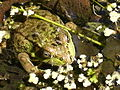 Green frog (Rana clamitans) with mosquitos.JPG