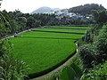 Green paddy field in Longtan on 10 October 2020.jpg