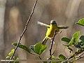 Grey-hooded Warbler (Phylloscopus xanthoschistos) (38880906514).jpg
