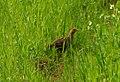 Grey partridge- (Perdix perdix)- Яребица.jpg