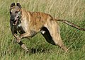 Greyhound running brindle.jpg