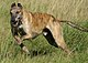 Greyhound running brindle.jpg