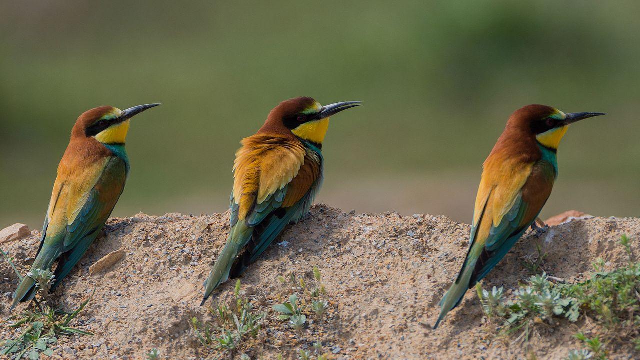 Guépiers d'europe Ichkeul (European Bee-eater) Merops apiaster.jpg
