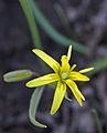 Gullstjerne - Gagea lutea - 2 (2422628159).jpg
