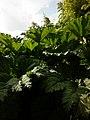 Gunnera manicata – Arboretum Ellerhoop 1.jpg