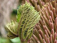 Gunnera manicata bourgeon et inflorescence.jpg