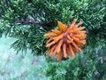 Gymnosporangium juniperi-virginianae gall sprouting.png