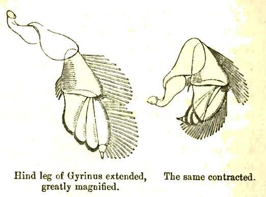 GyrinusLeg