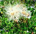 Hérémence, Grande-Dixence, flore.jpg