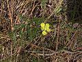 H20130318-7053—Lomatium caruifolium—Mitchell Canyon-1 (8586534855).jpg
