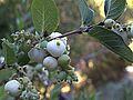 H20130909-9837—Symphoricarpos albus—Katherine Greenberg (9780710383).jpg