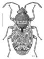HEMI Rhyparochromidae Metagerra helmsi.png