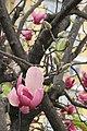 HK YL 元朗 Yuen Long 大陂頭休憩花園 Tai Pei Tau Rest Garden flowers pink Feb 2017.jpg