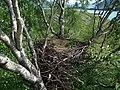 Haliaeetus albicilla empty nest.jpg