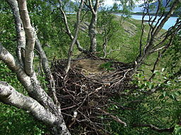 Haliaeetus albicilla empty nest