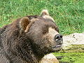 Hamburg kodiak bear face.JPG