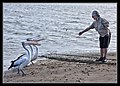 Hammy feeding three pelicans Shorncliffe-1 (6510215341).jpg