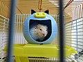 Hamster à Blida (38576410560).jpg