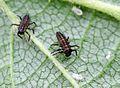 Harmonia axyridis - lifecycle A - 07 - larvae.jpg