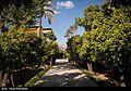 Harvest Citrus flowers in Iran 21.jpg